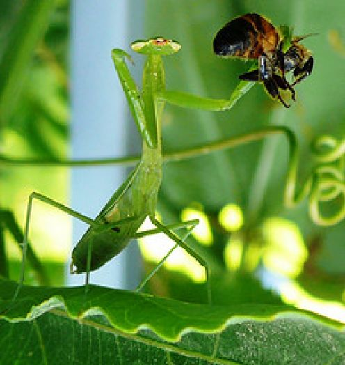bee-mantis