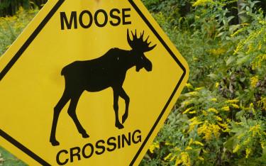 moose-crossing