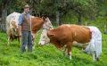 bavaria-cows