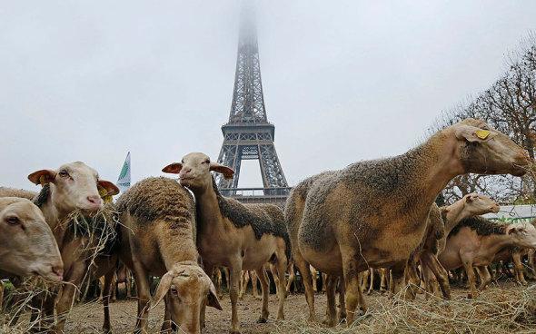 Eiffel_sheep_Telegraph