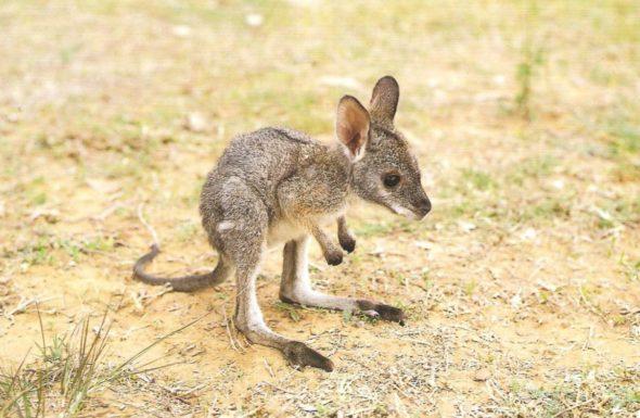 baby-kangaroo