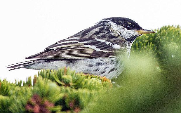 a_blackpoll_warbler