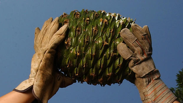 The Bunya Pine, native to Australia, produces massive pinecones, are seen in this file photo. Photo: File/LA Times, Getty Images)