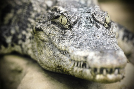 Indonesia plans to use crocodiles as death row guards