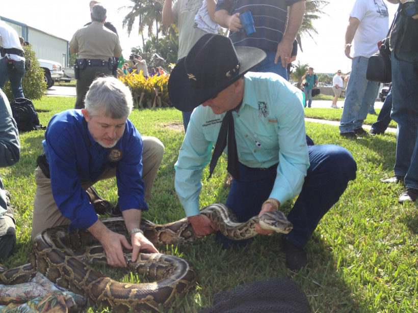 Florida Fish and Wildlife Conservation Commission Executive Director Nick Wiley (left) and Commissioner Ron Bergeron with a python. (Photo: Carli Segelson) The Burmese python isn't venomous, but the non-native species is destroying the native wildlife in Florida's Everglades.