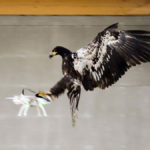 Eagles could be our best defense against drones