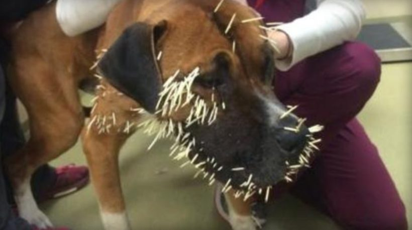 Stray dog finds himself in a prickly predicament