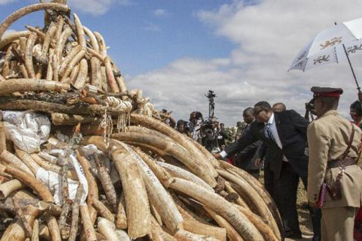 Malawian President Peter Mutharika preparing to set alight a pile of elephant ivory tusks smuggled from Tanzania March 14, 2016. (Photo: AFP)