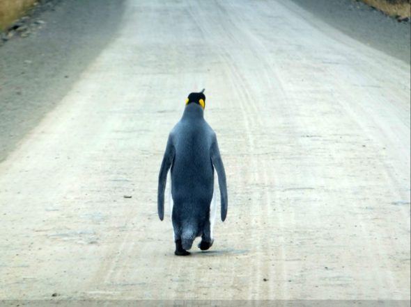Paul Chapman found this lone penguin walking in the East Falklands. (Photo: Caters News)