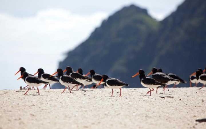 Oystercatcher birds on the beach (Photo: ALAMY)