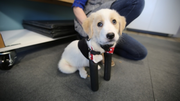 Cupid, the 2-legged puppy