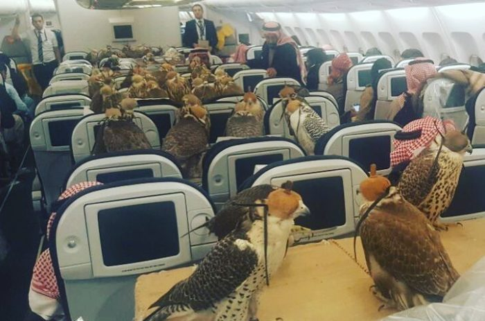 Saudi prince buys his 80 falcons a plane seat apiece