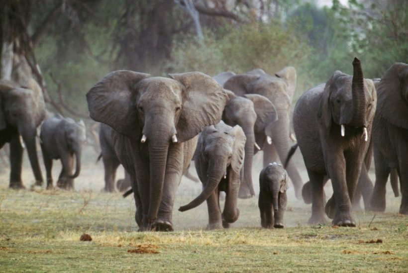 World #1 – Botswana considers ending ban on elephant hunting