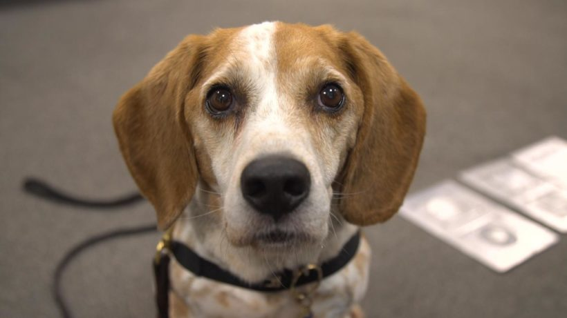 U.S. uses beagles to detect smuggled pork