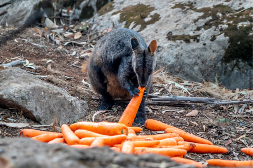 Australian brushfires: veggie drop for stranded animals